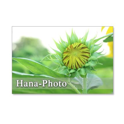 ★1122) ヒマワリ 1  ポストカード5枚組 再販1