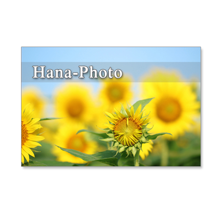 1124)ヒマワリ  3   (屋外)  ポストカード5枚組