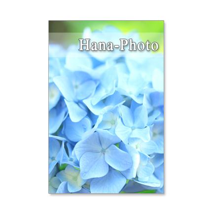 1136) 紫陽花のアップ   ポストカード5枚組