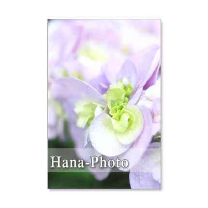 1137) セキカヤエアジサイ(石化八重紫陽花)  ポストカード5枚組