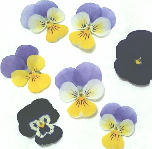 ビオラ 押し花 ドライフラワー