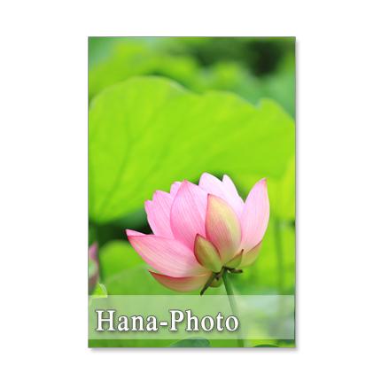 1149)蓮の花 ポストカード5枚組