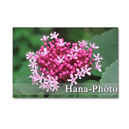 ★1152)ボタンクサギ、柏葉紫陽花、アガパンサス  ポストカード5枚組 再販1
