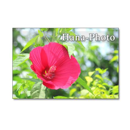 1162) 赤花芙蓉、朝顔、糊空木など         ポストカード5枚組