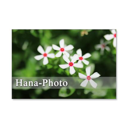 1189)極小の日日草、百日紅、ノウゼンカズラ、仙人草  ポストカード5枚組