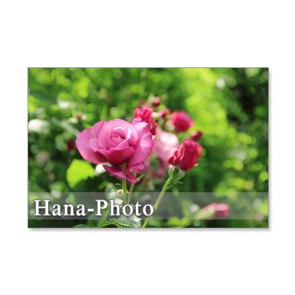 1195)ピンクのバラシリーズ   ポストカード5枚組  2