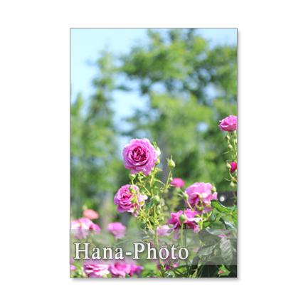 1196) バラ ポストカード5枚組