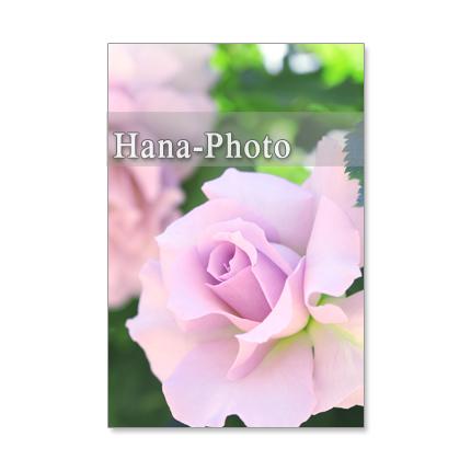 1197) バラ ポストカード5枚組