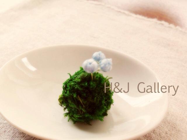○小さな苔玉 ブルースターフラワー(受皿付き)