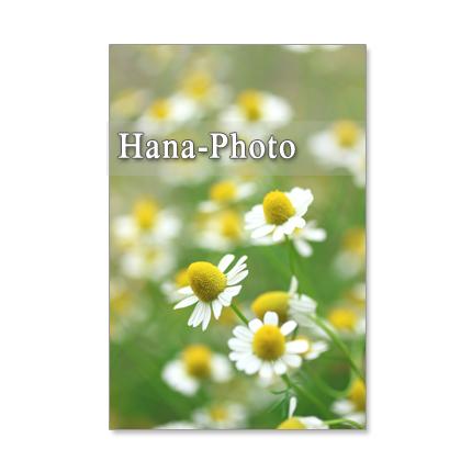 1215) カモミール 3  ポストカード5枚組