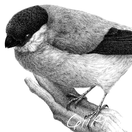 ポストカード2枚セット・ウソ(野鳥)