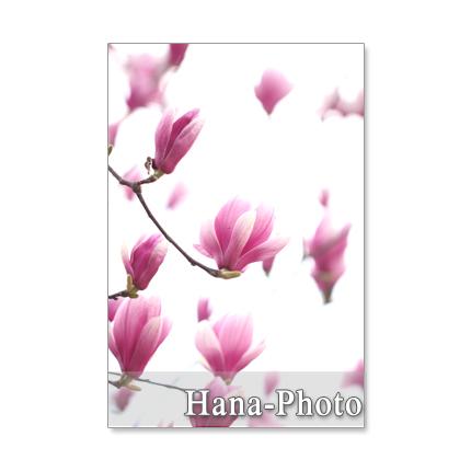 1229) 春の木の花(木蓮、桜、ロドレイ...