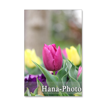 1230) キュートな春の花たち      ポ...