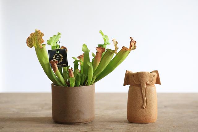 【1点もの】食虫植物サラセニア