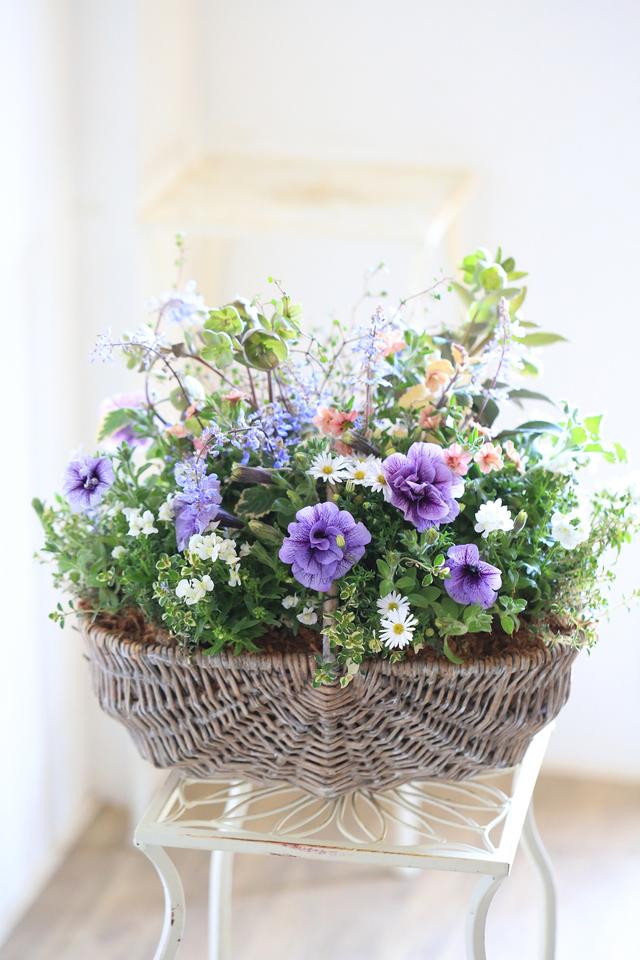 【1点物】八重咲きペチュニアVIVAとク...