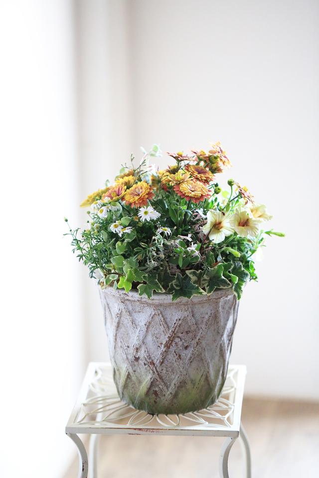 【1点物】ダブル咲きオステオとブラキ...