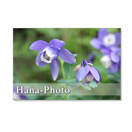 1235) 青い花 オダマキ、セリバヒエン...