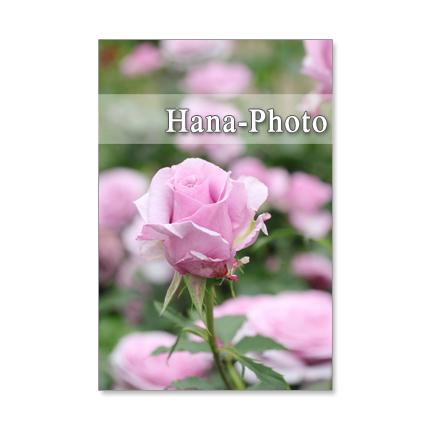 1242) シックな紫系のバラ      ポス...
