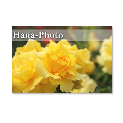 1243) 鮮やかな黄色系とピンク系のバラ...