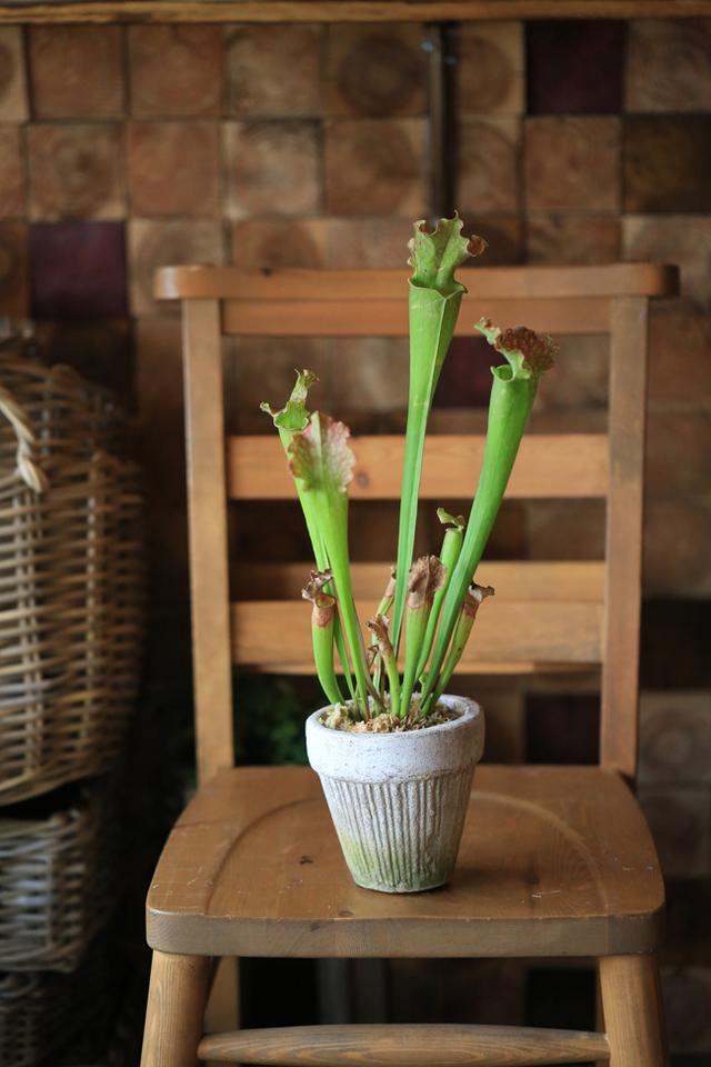 【1点もの】食虫植物サラセニアE DECO...
