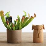 s様専用カート 食虫植物サラセニア