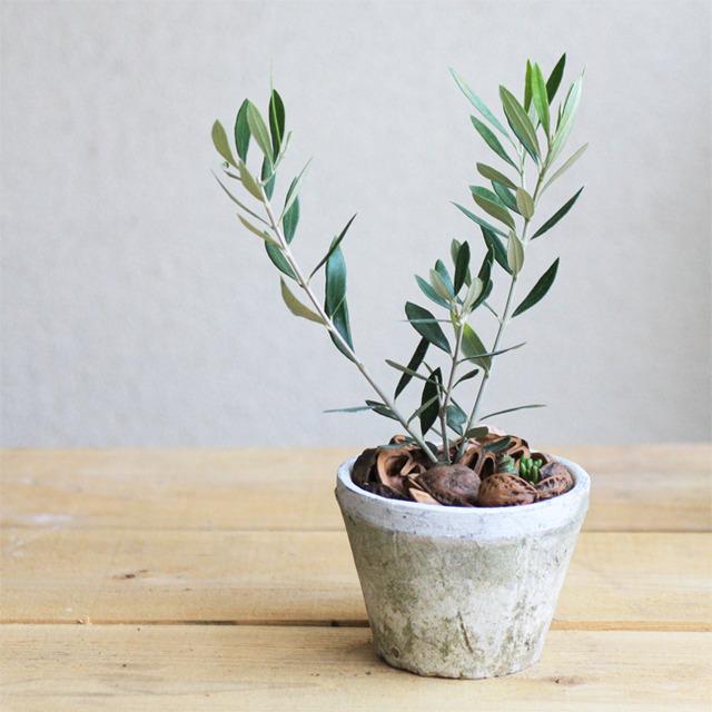 オリーブ+多肉植物寄せ植え(ホワイトモスポット)