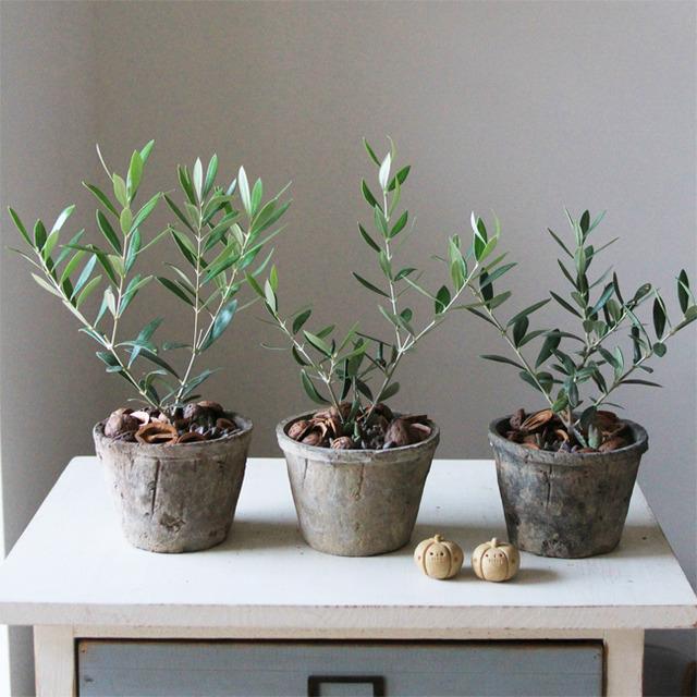 オリーブ+多肉植物寄せ植え(グレーモスポット)