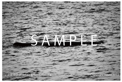 はがきサイズの写真:世界自然遺産 マッコウクジラのひるね POSTCARD