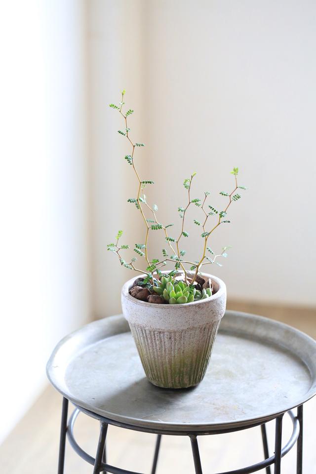 ソフォラ・ミクロフィラと多肉植物寄せ植え