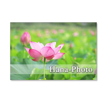 1249)  美しいハスの花.     ポストカー...