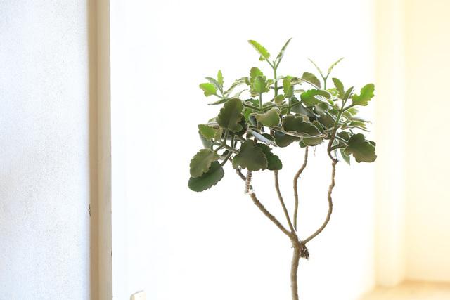 【1点もの】多肉植物ローズリーフ・カ...