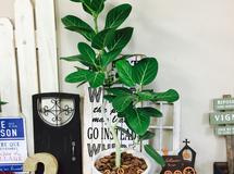 新作?現品【ベンガレンシス】シンプル陶器鉢!すてきなグリーン?大きめ観葉植物♪