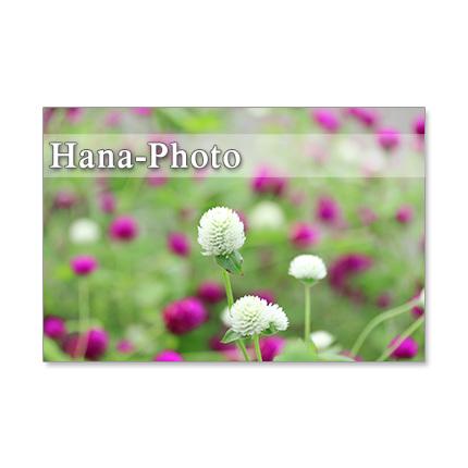 1260) 可愛い庭の花たち     5枚組...