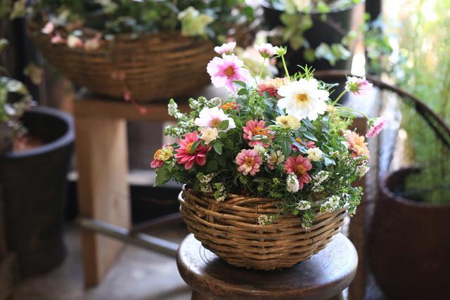 【1点物】ジニアと八重咲きコスモスの...