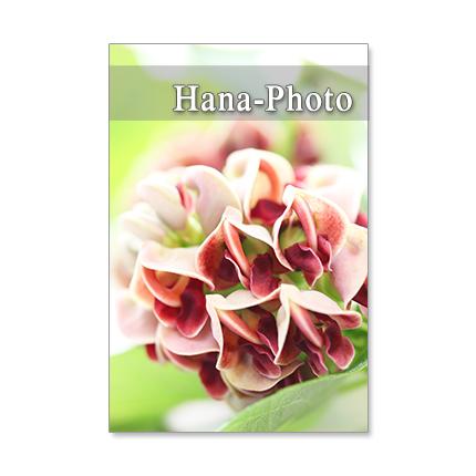 1263) マメ科の花 アメリカホドイモの...