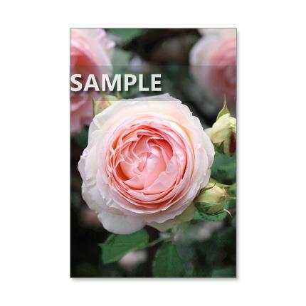 1019)ピンクのバラたち     5枚選べるポストカード