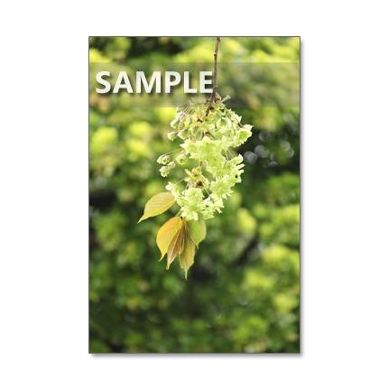 1066)Postcard 5枚組 桜 日本の春を彩る艶やかな桜たち