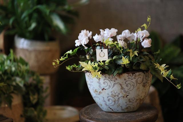 室内で楽しむすずらん咲きシクラメンの...
