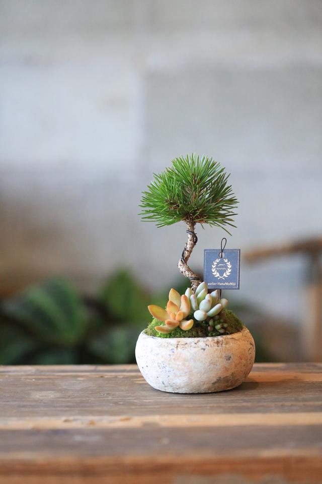 新春*黒松と多肉植物の寄せ植え