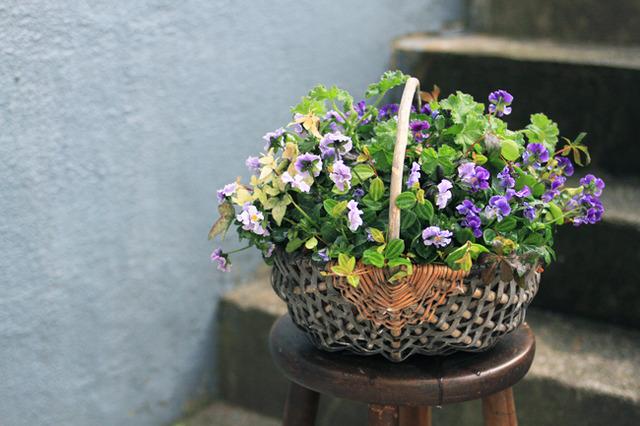 ぞうさんビオラと香るゼラニュームのバスケット-季節の花の寄せ植え-