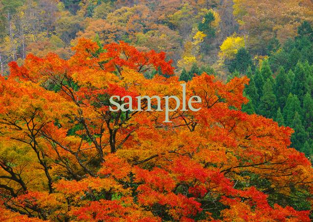 プリント紅葉シリーズ 秋彩