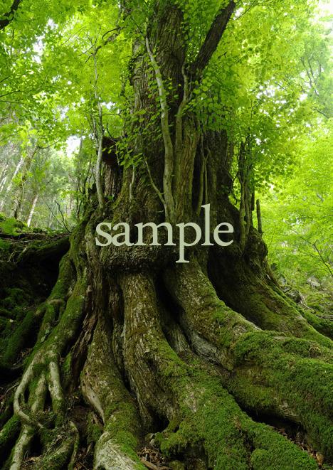 プリント樹シリーズ 桂巨樹