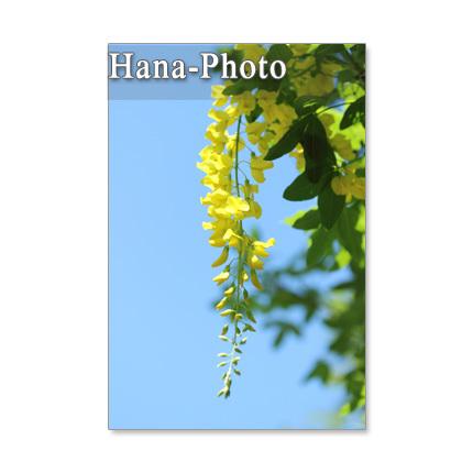 143)Postcard 5枚組 キングサリ、モモの花など春の花たち