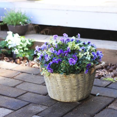 ぞうさんビオラとレアアイビーの寄せ植え-季節の花の寄せ植え-