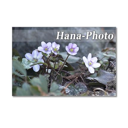 1291) 早春の花 雪割草、スノードロッ...