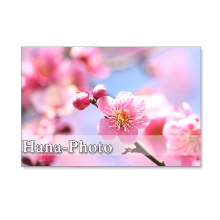 1058)Postcard 5枚組 梅、猫柳、福寿草で春の息吹を