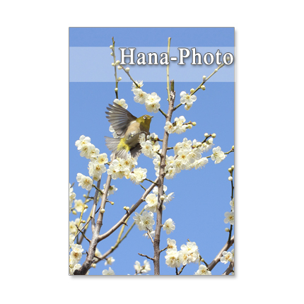 148)Postcard 5枚組 鳥と白梅、紅梅4枚