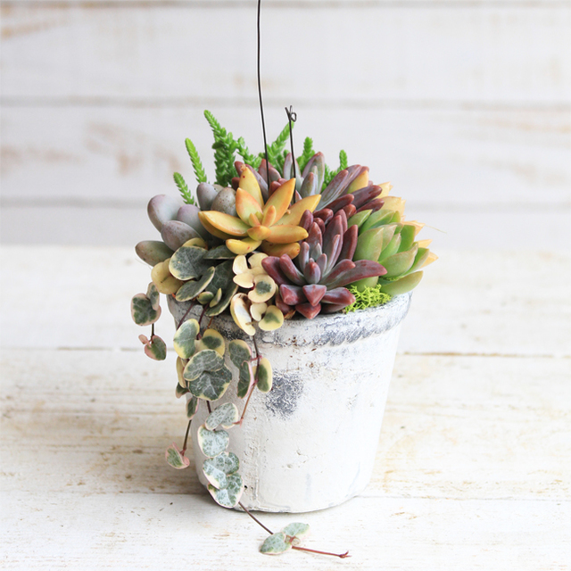 アンティーク風白鉢の多肉植物寄せ植え
