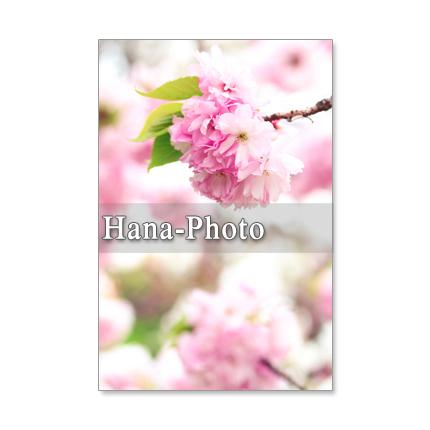 1036) 5枚選べるポストカード 桜と梅 美しい日本の春!