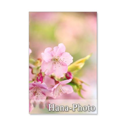 1040)Postcard 5枚組 桜・・・5種類のさ・く・ら